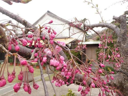 しだれ桜と蔵s.jpg
