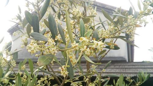 オリーブの花と蔵s.jpg