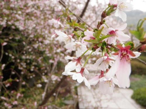 富士桜s.jpg