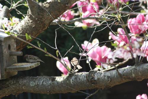 桜と雀と木蓮とs.jpg